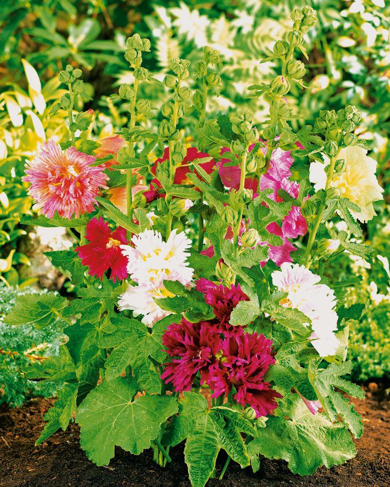 Выращивание шток розы однолетней 46