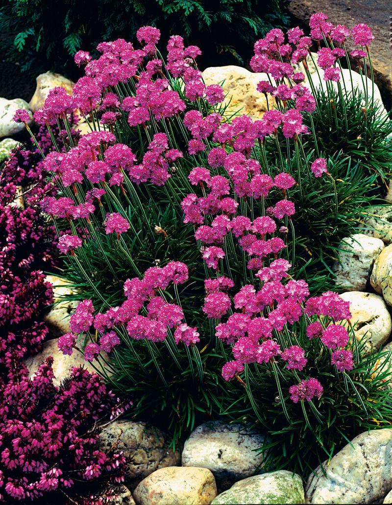 Армерия цветов в саду