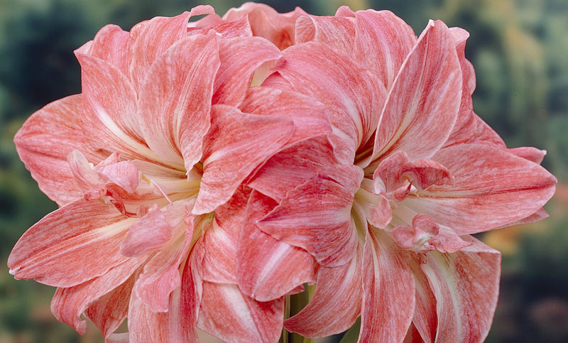 for Amaryllis culture