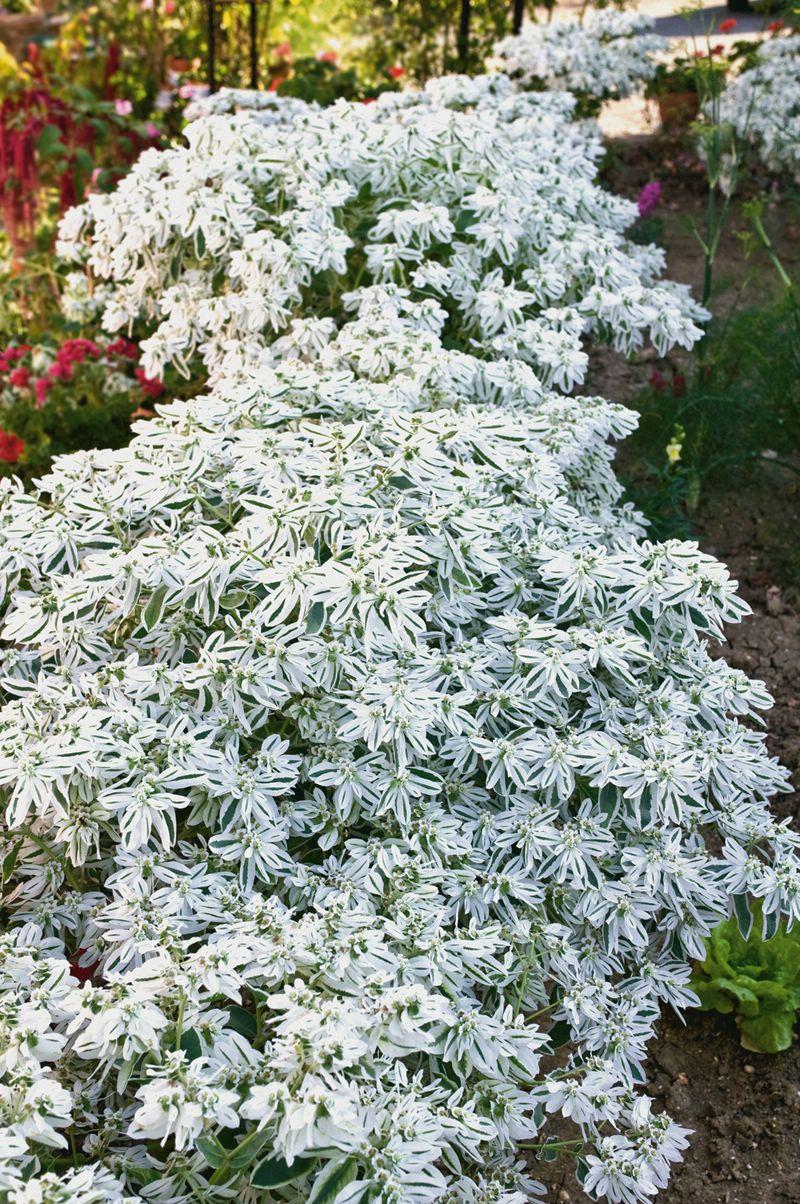 Цветы невеста садовые выращивание 53