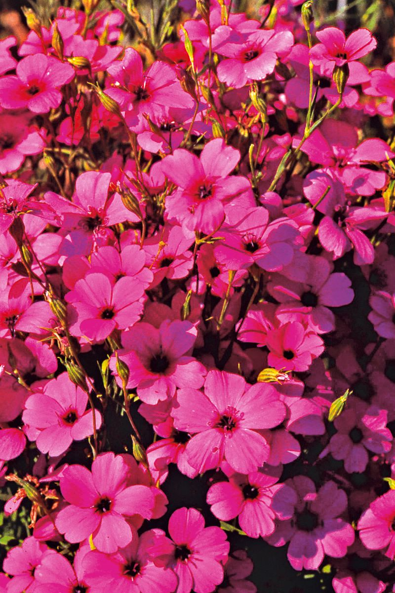 Цветы вискария